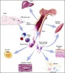Ghép tủy xương hay ghép tế bào gốc