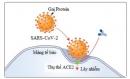 Tế bào gốc trung mô ACE2 có thể giúp cải thiện hiệu quả điều trị viêm phổi do COVID-19